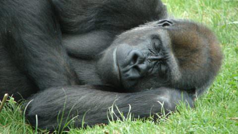 3 Ways To Sleep Like A Silverback Gorilla