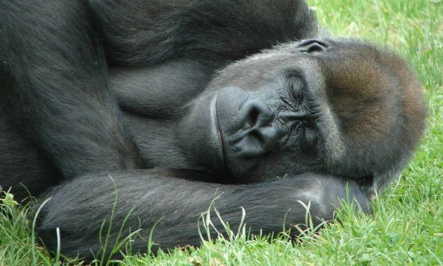 3 Ways To Sleep Like A Silverback Gorilla